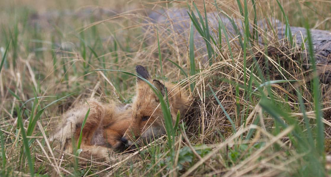 A small red fox laying down in the grasses in Alaska