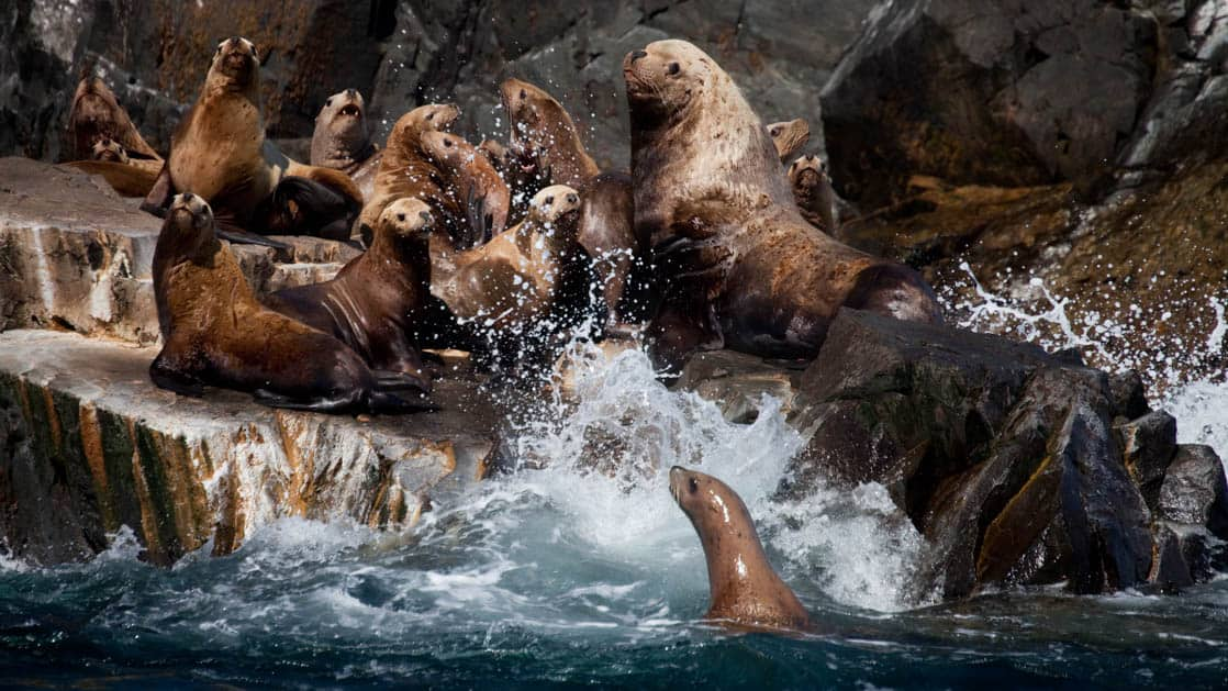 Group of sea lions on rocks and in the water in Alaska