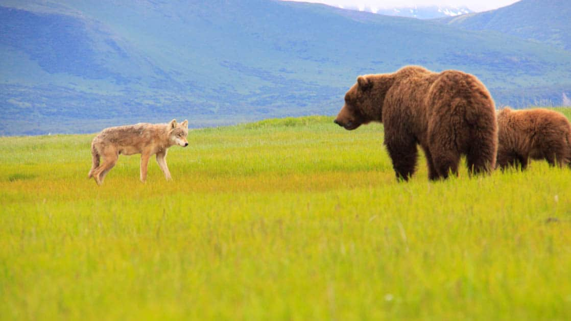 Grizzly bear standing in front of her cub as a wolf walks by in the grass in Alaska