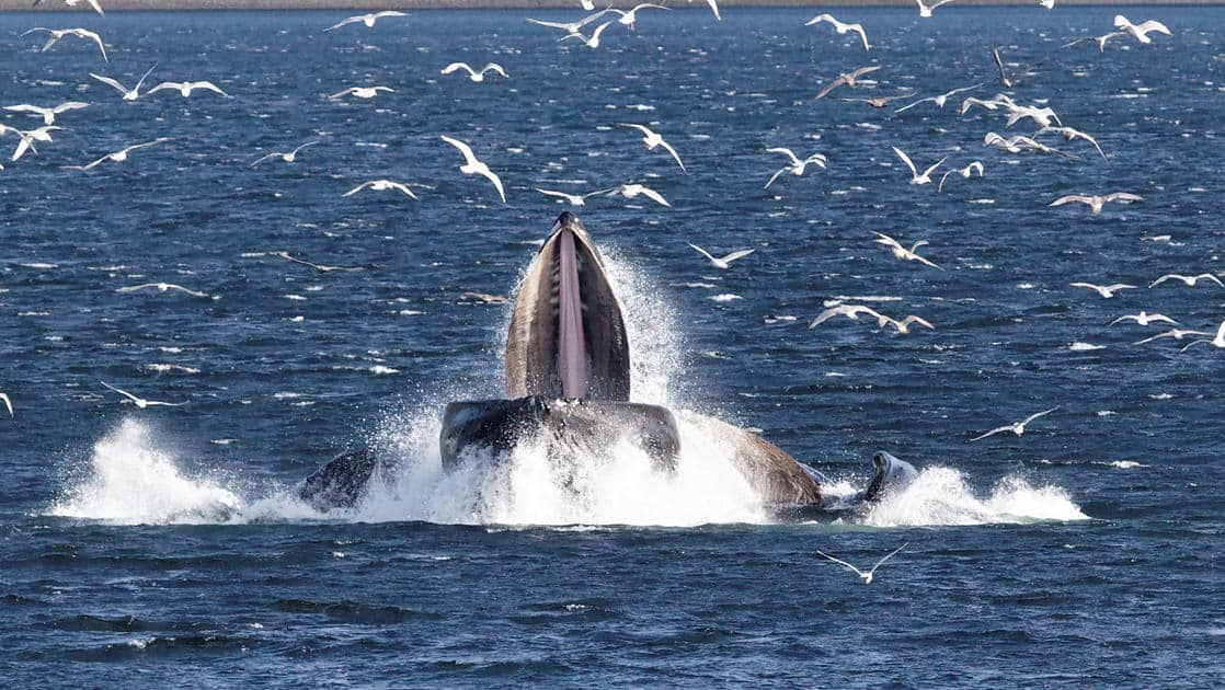 Whales bubble net feeding in Alaska with sea birds flying above