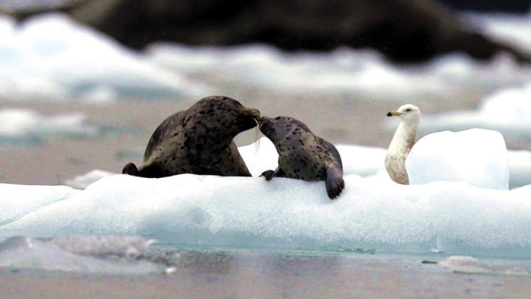 two seals kissing on a piece of floating ice with a white bird behind