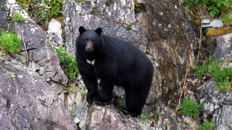 A small black bear looking at the camera on the Alaska Islands, Whales and Glacier cruise.