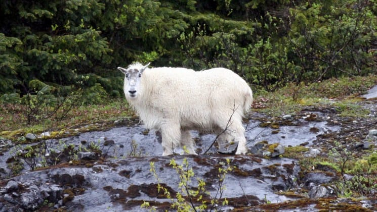 A white mountian goat standing on a snow patch looking at the camera on a Alaska, Islands, Whales and Glaciers cruise.