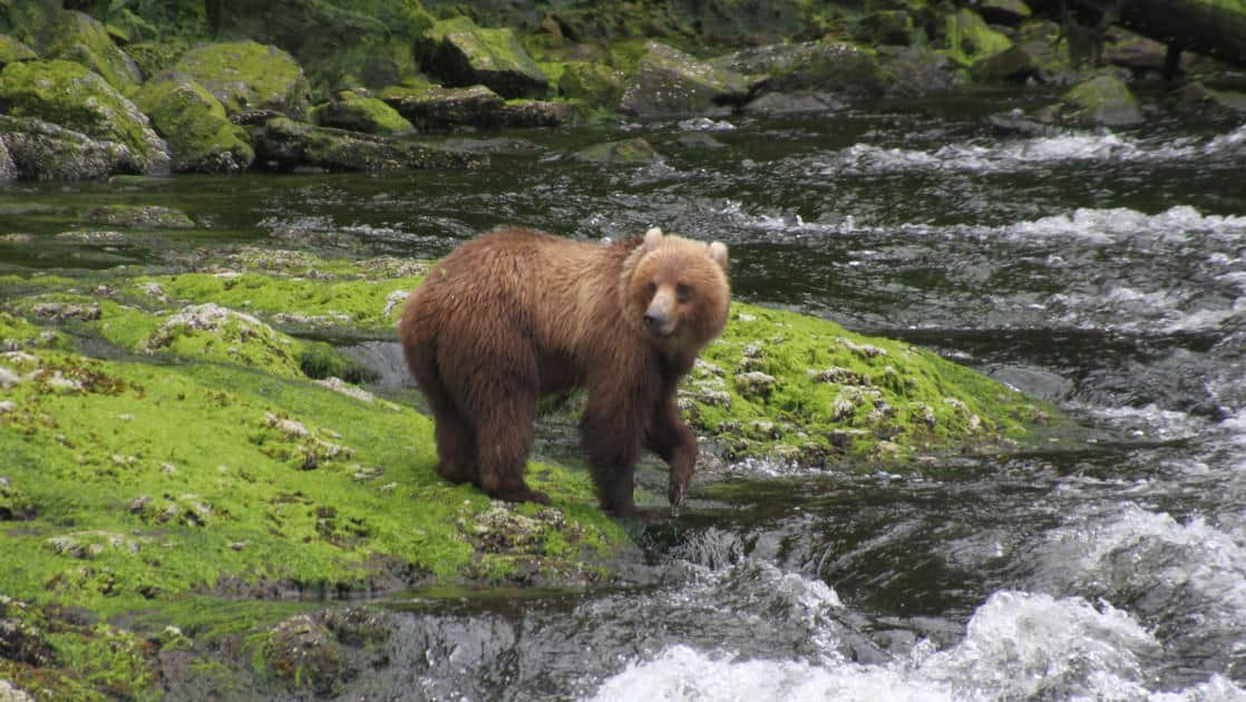 Brown bear hunting for fish in a river in Alaska