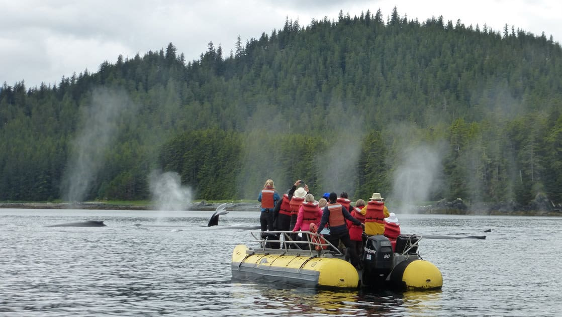 Skiff in Alaska with small ship cruise passengers watching as whales breach in front of them