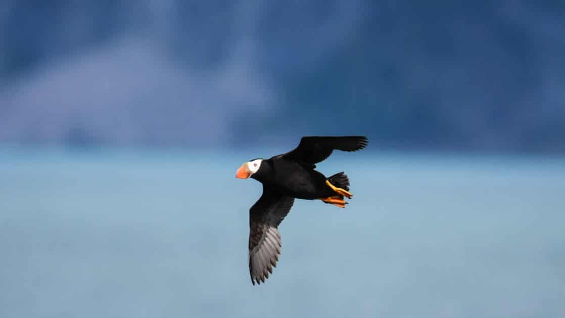 Puffin flying sighted on Inside Passage & Glacier Bay Wilderness Cruise