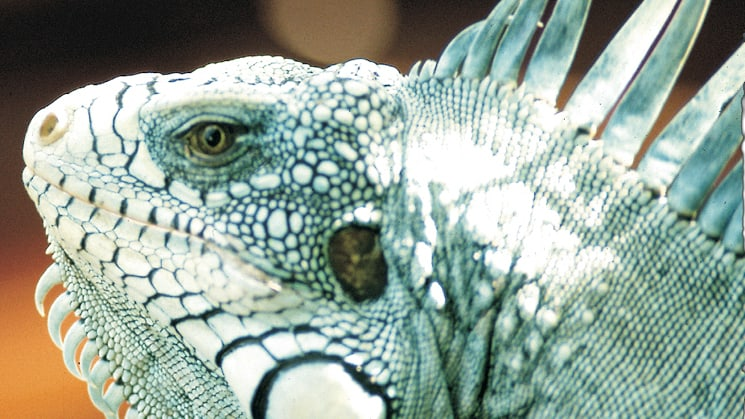 close up of a large iguana's face in brazil