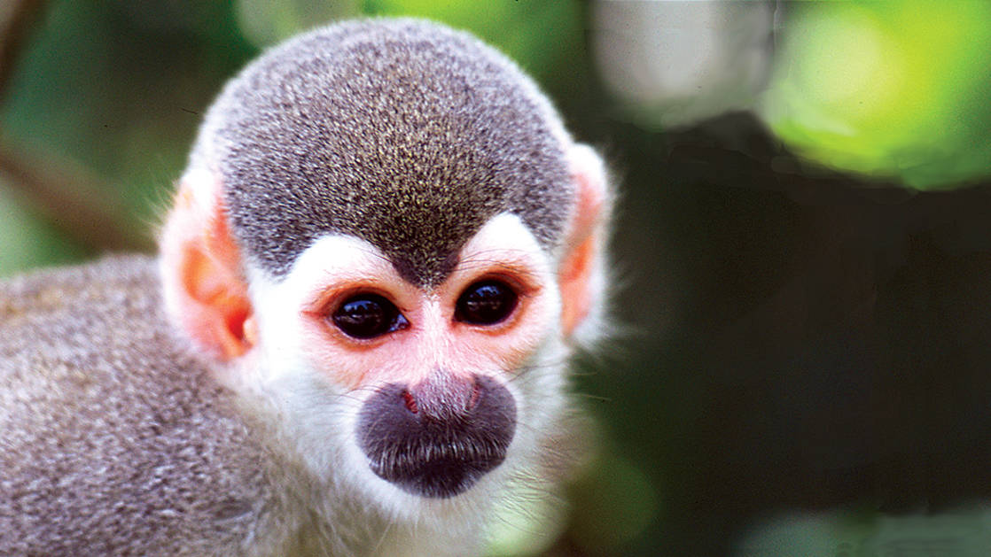 Close up of a squirrel monkeys face in brazil