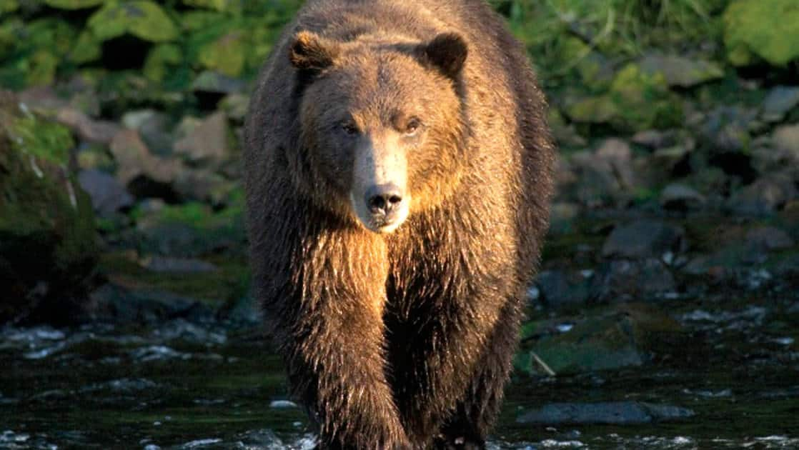 A close-up of a brown bear walking on Chichagof Island in the Tongass national forest