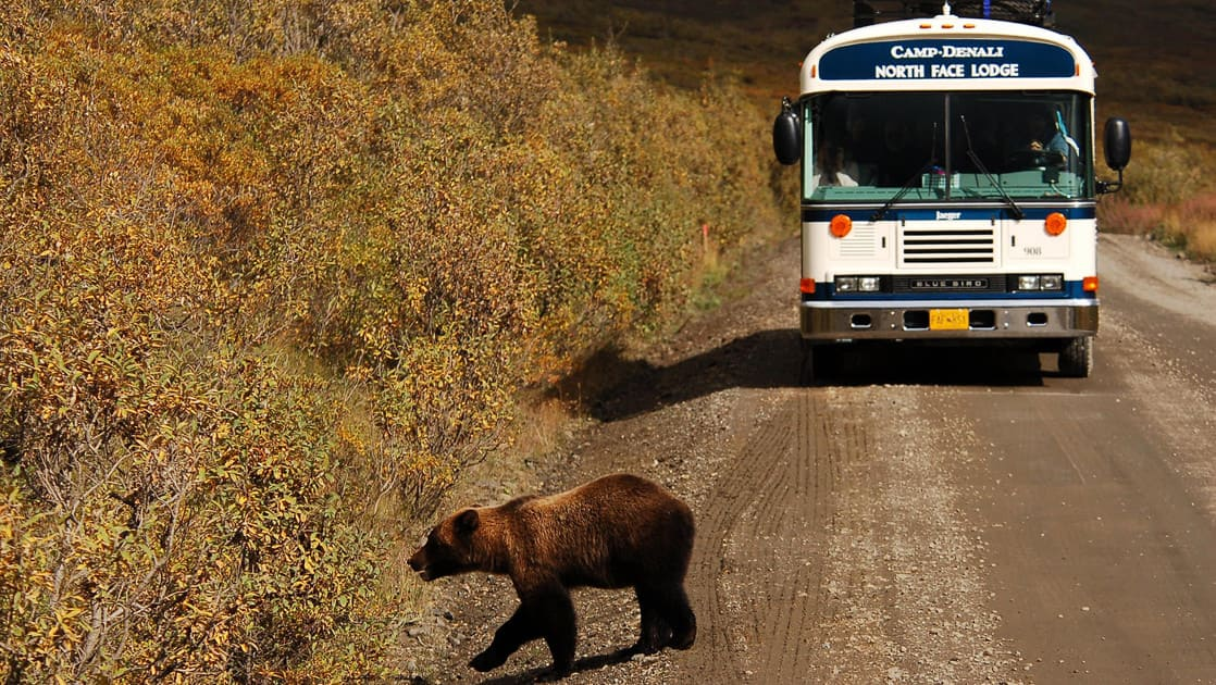 A bear crosses a dirt road in front of a bus taking guests to Camp Denali in Alaska. Each bus ride is an opportunity for wildlife viewing.