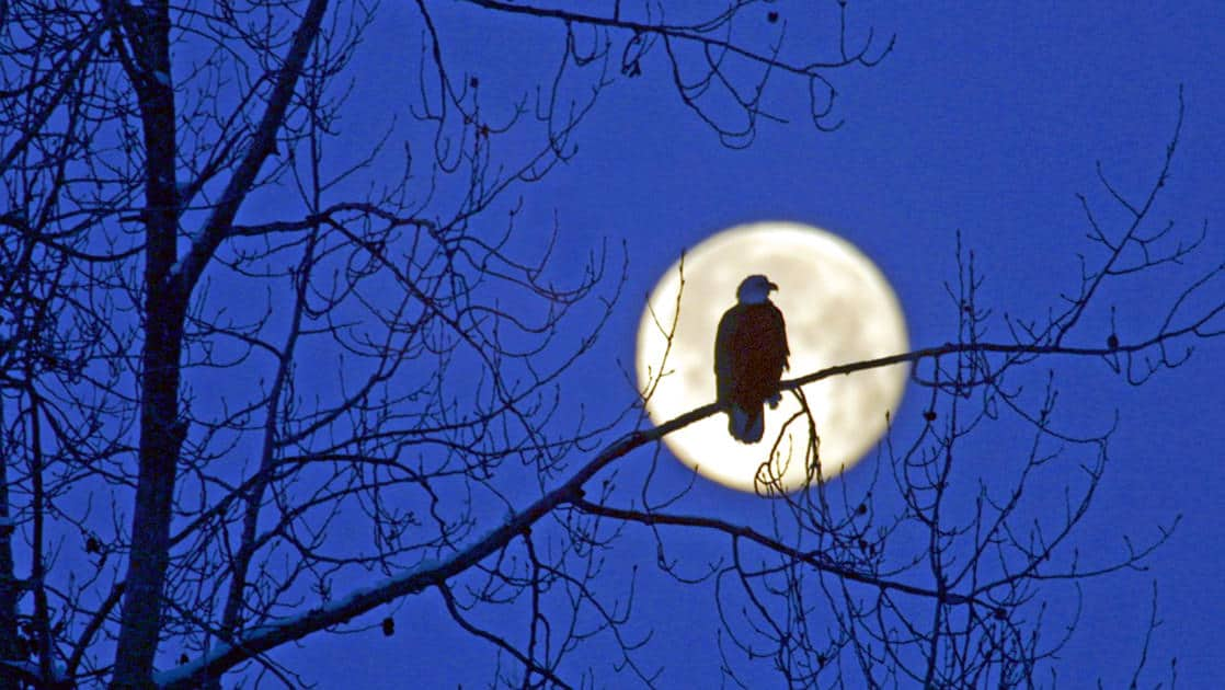 Bald eagle in front of the full moon on a tree limb over the Chilkoot River in Alaska.