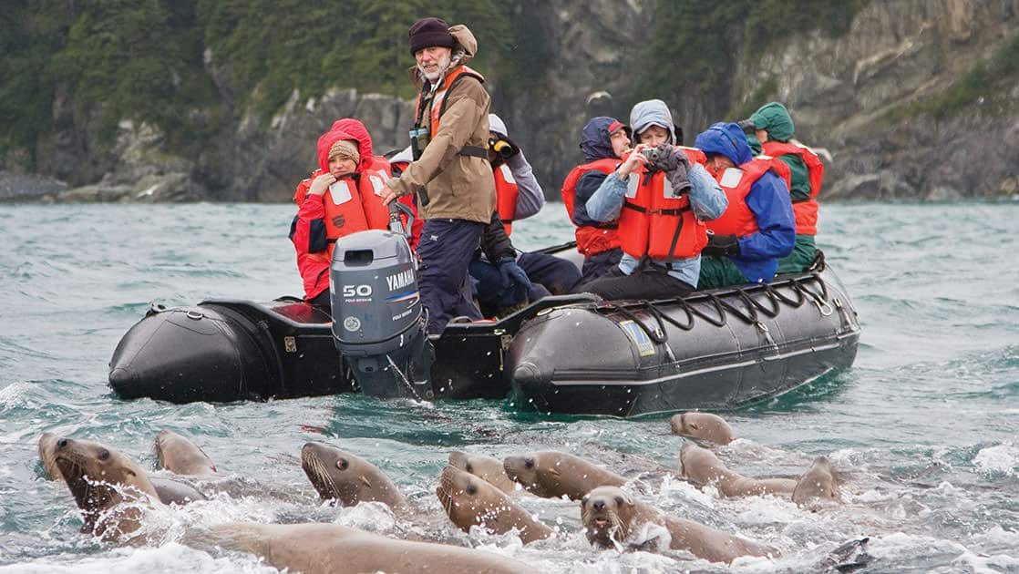 Curious northern stellar sea lion colony get up close to a group of people on an inflatable skiff in Alaska