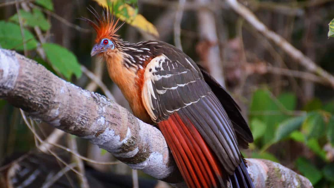 A tropical bird with red feathers and markings perches on a branch in the Ecuadorian Amazon basin, not far from La Selva Amazon EcoLodge