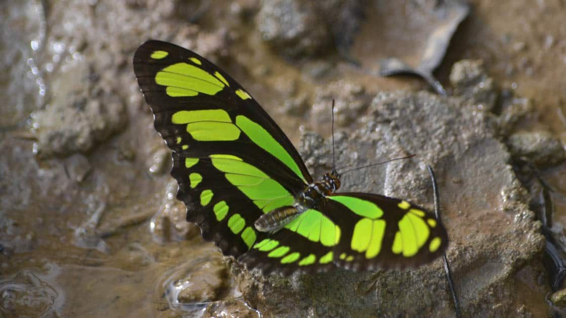 A tropical butterfly with green and black markings rests on the jungle floor in the Ecuadorian Amazon basin, not far from La Selva Amazon EcoLodge