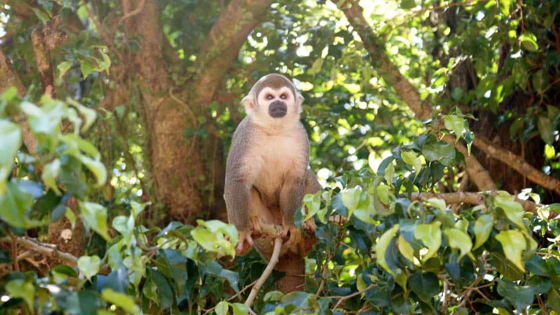 A monkey in the trees near the Napo Wildlife Center, a sustainable eco lodge surrounded by a 53,000 acre rainforest biosphere reserve within Yasuni National Park in the Amazon.