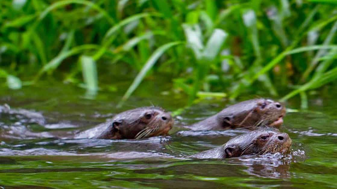 River otters swim in the water beside lush grasses near the Napo Wildlife Center, a sustainable eco lodge surrounded by a 53,000 acre rainforest biosphere reserve within Yasuni National Park in the Amazon.