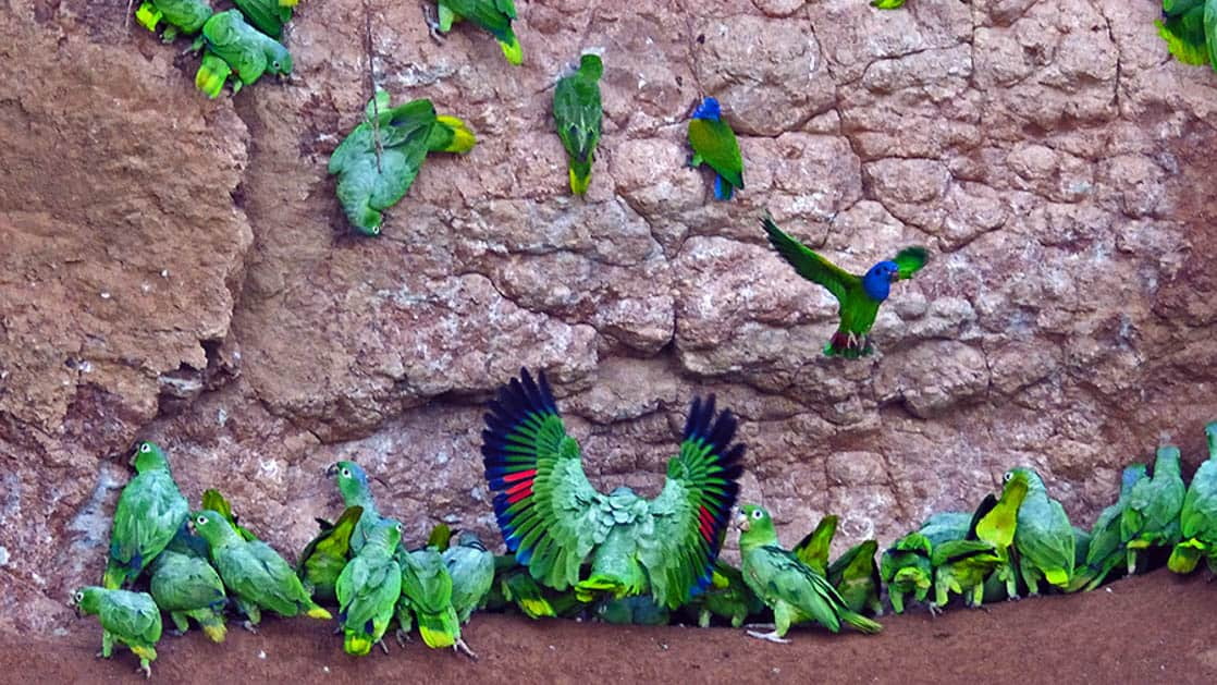 A flock of green tropical birds take to the air near the Napo Wildlife Center, a sustainable eco lodge surrounded by a 53,000 acre rainforest biosphere reserve within Yasuni National Park in the Amazon.