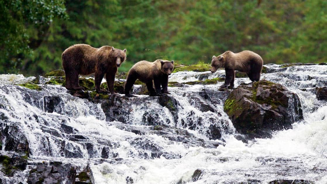 Brown Bear with cubs fishing for pink salmon near the salmon weir at Pavlof Harbor on Chichagof Island in Alaska