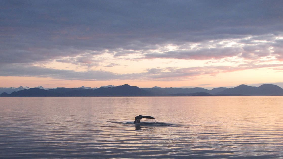 Whale tail just above the surface of the calm water in Alaska during sunset