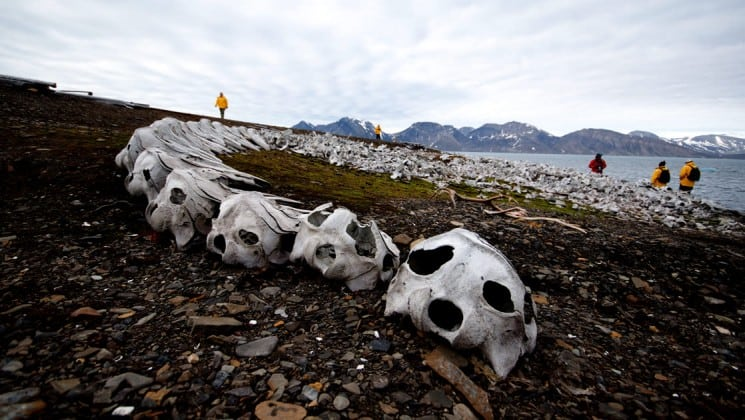 large bones arranged on rocky beach on introduction to spitsbergen arctic cruise