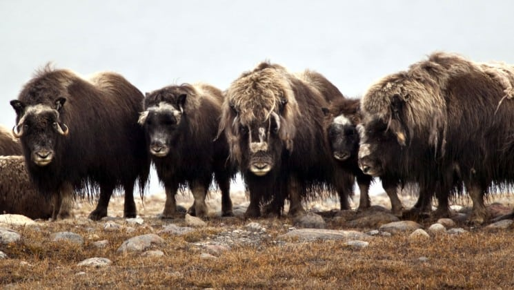 musk ox in svalbard seen on introduction to spitsbergen arctic cruise
