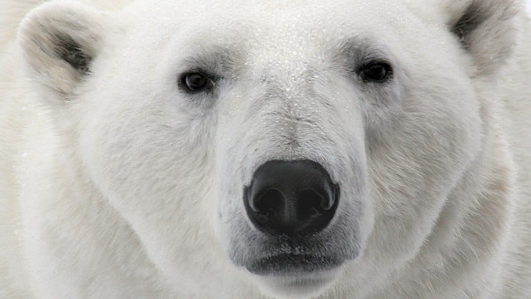 closeup of polar bear face on introduction to spitsbergen: fjords, glaciers & wildlife of svalbard cruise