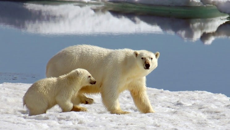 polar bear and cub seen on introduction to spitsbergen: fjords, glaciers & wildlife of svalbard cruise