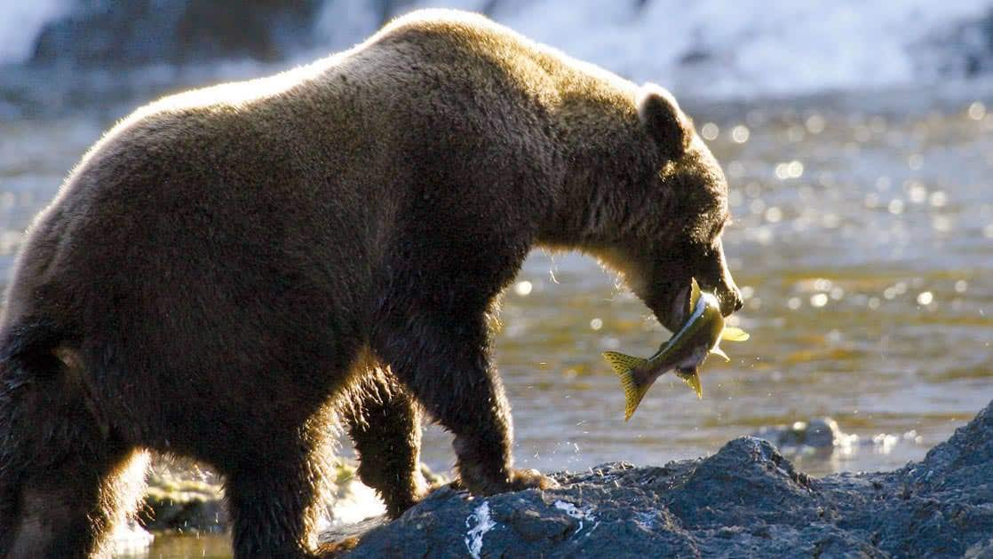 Large brown bear with a salmon in its mouth at chichagof island in tongass national forest, Alaska