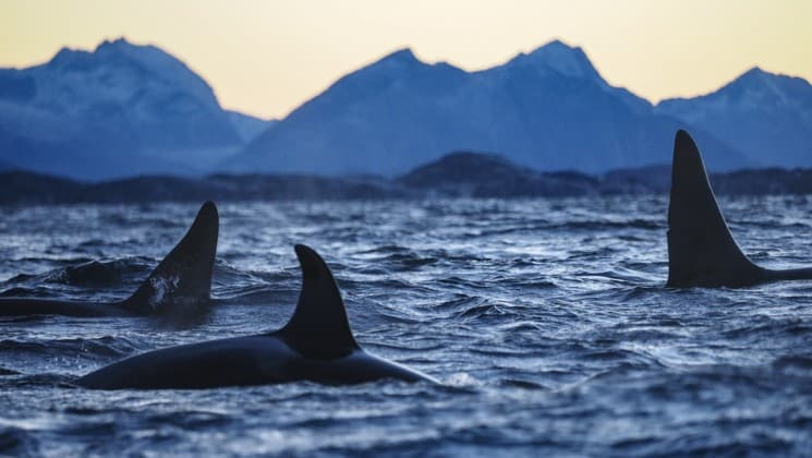 three orca fins in arctic waters in north norway