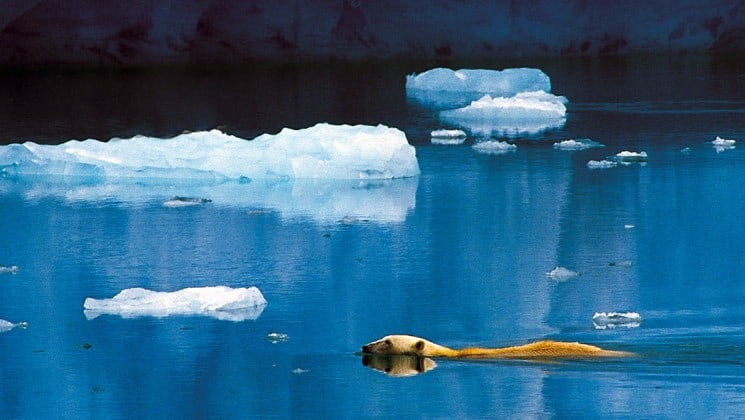 polar bear swimming among floating ice on norway's fjords & arctic svalbard cruise