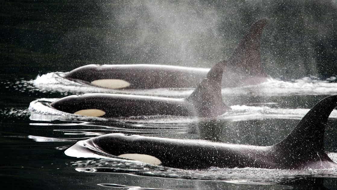 Family of three killer whales/orcas surface in the calm waters of Alaska