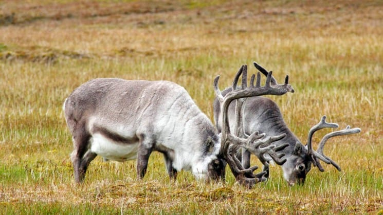 two reindeer grazing seen on realm of the polar bear arctic cruise