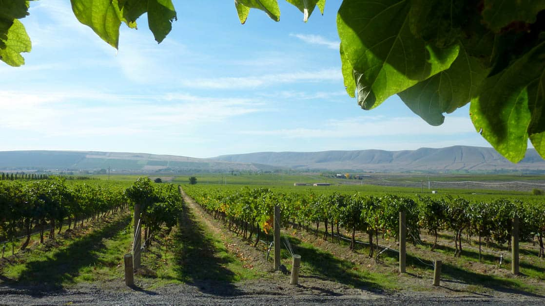 looking down green rows of vineyards on a sunny day in the pacific northwest with leaves hanging down in the foreground and mountains in the distance
