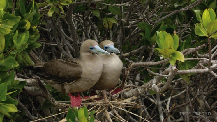 Two red-footed boobies in tree in galapagos islands