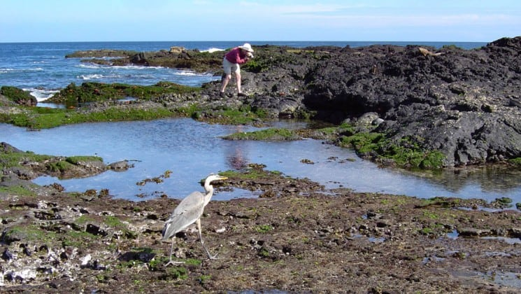 woman exploring tide pools near white crane in galapagos islands