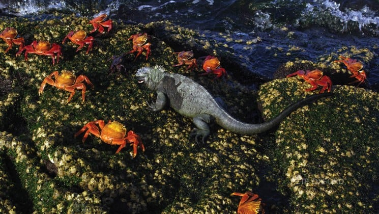 large iguana surrounded by crabs on large rock in galapagos islands