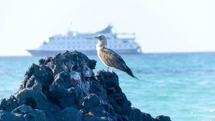 Booby on rock in Galapagos Islands with Santa Cruz II small cruise ship in distance