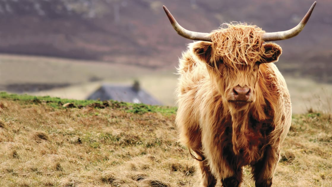 Scottish highlander cattle with long horns and a long orange brown wooly coat