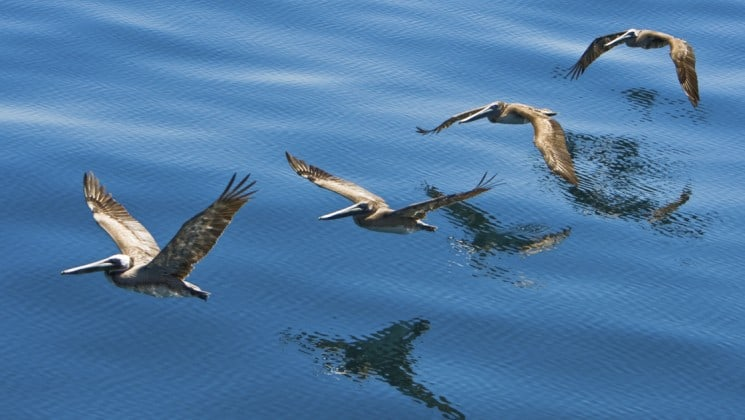 pelicans skimming the surface of sea of cortez in baja on serenity & sea life cruise