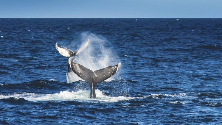 two whale tails seen on serenity & sea life in the sea of cortez cruise