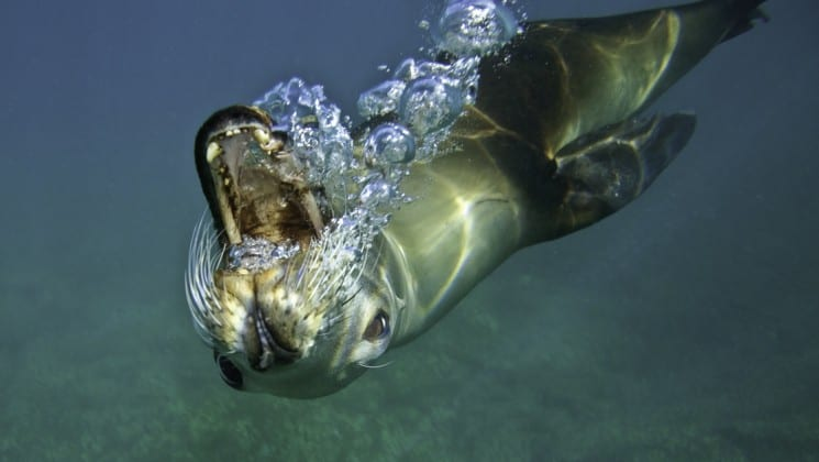 playful sea lion blows bubbles underwater on southern california to baja small ship cruise