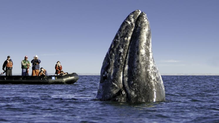 Guests on zodiacs watch a humpback whale on pacific coast cruise