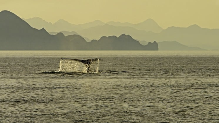whale tail seen from southern california to baja: sailing the pacific coast cruise