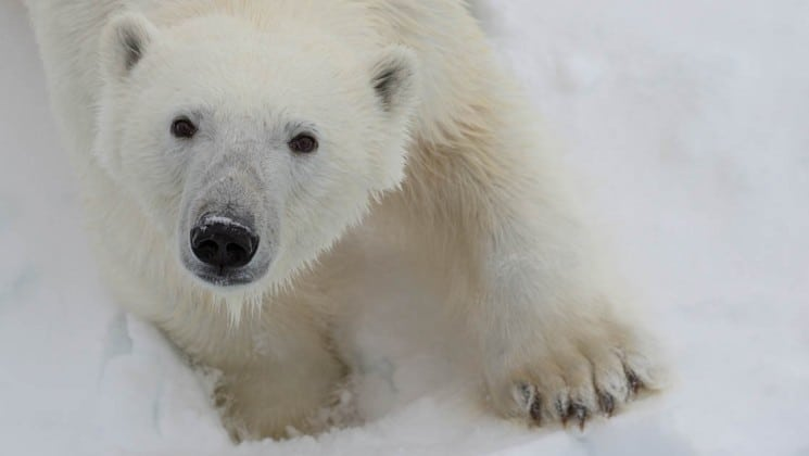 polar bear seen on spitsbergen highlights: expedition in brief arctic cruise