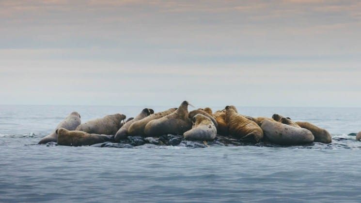 group of walruses on rock surrounded by arctic water in spitsbergen