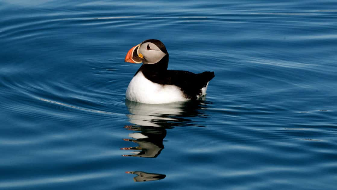 puffin seabird swimming on calm arctic waters on the spitsbergen in depth small ship cruise