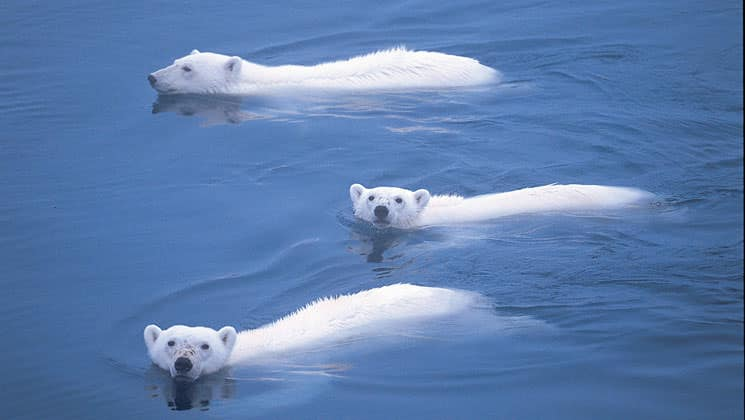 three polar bears swimming in calm water on the spitsbergen in depth small ship arctic cruise
