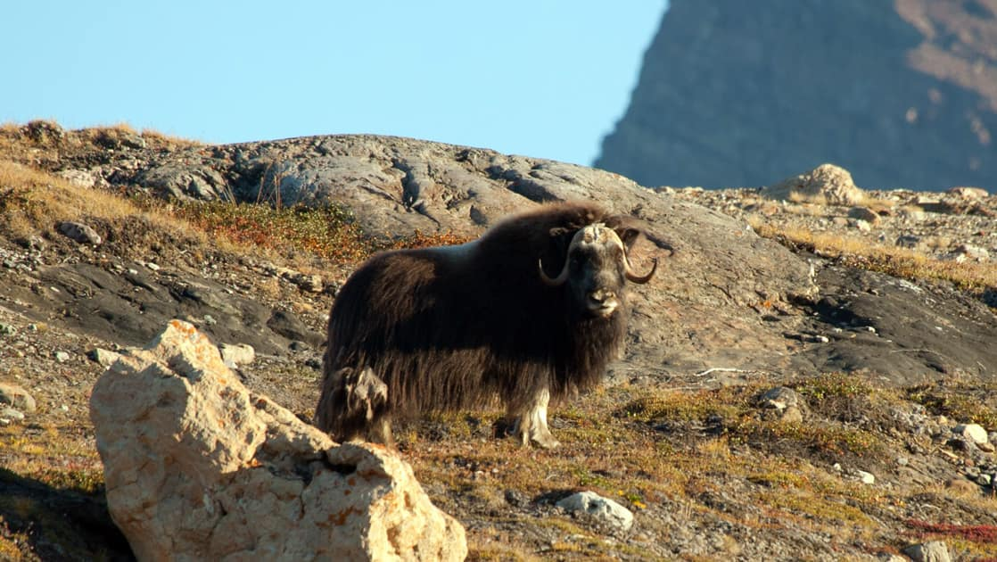 lone musk ox in spitsbergen standing on dry arctic tundra with sunny skies above