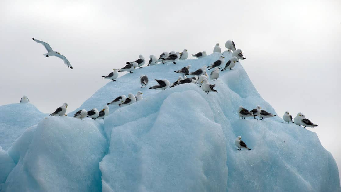 seabirds on a light blue iceberg on a cloudy day on the Spitsbergen Northeast Greenland small ship cruise trip