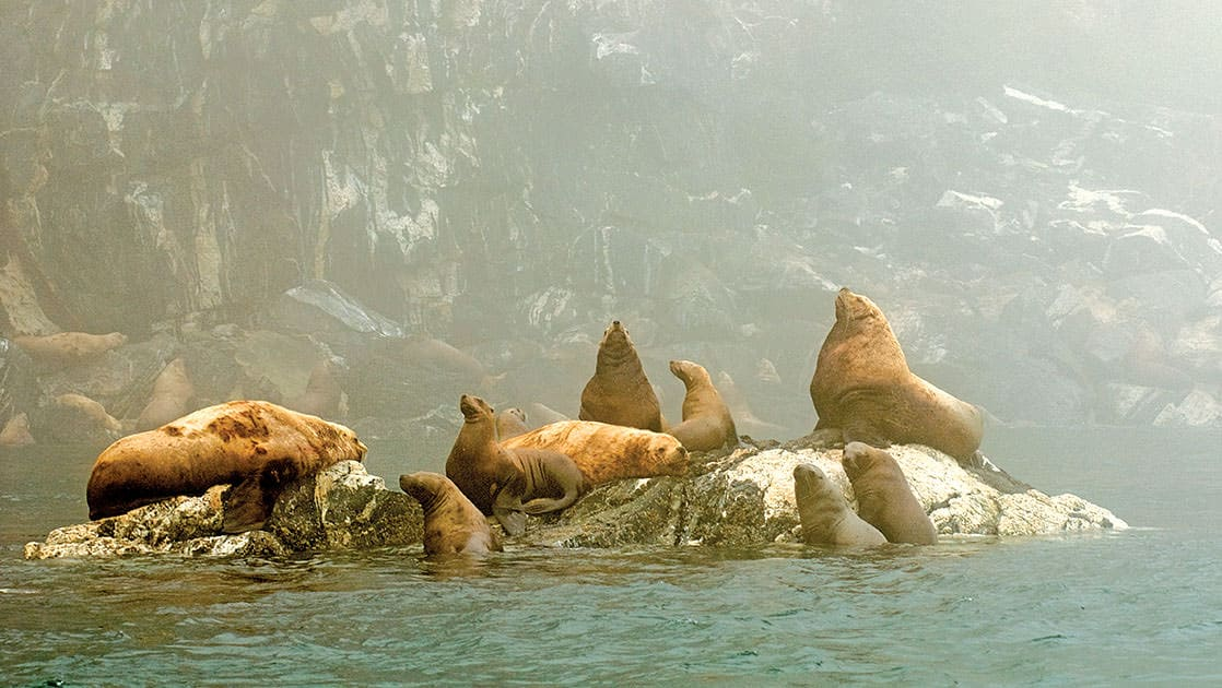 Group of stellar sea lions hanging out on rocks in Alaska.